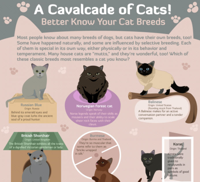 Do You Know Your Cat Breeds Infographic Holy Meow